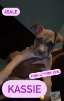 American Bully Puppies for sale in Bronx, NY, USA. price: NA