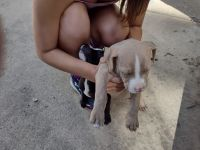 American Bully Puppies for sale in Fremont, IN 46737, USA. price: NA