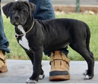 American Bully Puppies for sale in Murrieta, CA 92563, USA. price: NA