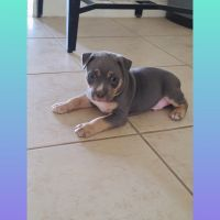 American Bully Puppies for sale in Austin, TX, USA. price: NA
