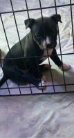 American Bully Puppies for sale in Hannibal, MO 63401, USA. price: NA