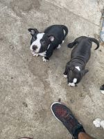 American Bully Puppies for sale in Ontario, CA, USA. price: NA