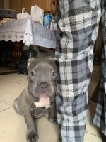 American Bully Puppies for sale in Phoenix, AZ 85009, USA. price: NA
