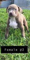 American Bully Puppies for sale in McAllen, TX, USA. price: NA