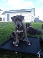 American Bully Puppies for sale in Northwest, OH 43543, USA. price: NA