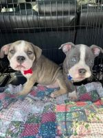American Bully Puppies for sale in London, KY, USA. price: NA