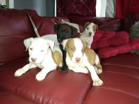 American Bully Puppies for sale in Merrillville, IN, USA. price: NA