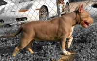 American Bully Puppies for sale in Tucson, AZ, USA. price: NA