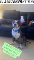American Bully Puppies for sale in Reading, PA, USA. price: NA
