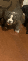 American Bully Puppies for sale in Beechdale Dr, Palmdale, CA 93551, USA. price: NA