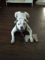 American Bully Puppies for sale in Dallas, TX, USA. price: NA