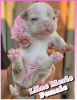 American Bully Puppies for sale in Modesto, CA, USA. price: NA