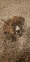 American Bully Puppies for sale in Riverside, CA, USA. price: NA