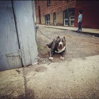 American Bully Puppies for sale in Paterson, NJ 07524, USA. price: NA