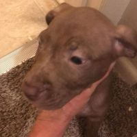 American Bully Puppies for sale in Stanford, KY 40484, USA. price: NA