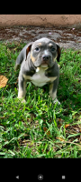 American Bully Puppies for sale in Fort Lauderdale, FL, USA. price: NA