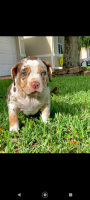 American Bully Puppies Photos