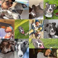 American Bully Puppies for sale in Atlanta, GA, USA. price: NA
