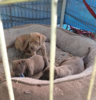 American Bully Puppies for sale in Tacoma, WA, USA. price: NA