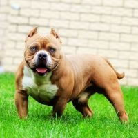 American Bully Puppies for sale in Flossmoor, IL 60422, USA. price: NA