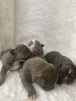 American Bully Puppies for sale in Lilburn, GA 30047, USA. price: NA