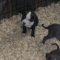 American Bully Puppies for sale in Chicago, IL 60610, USA. price: NA