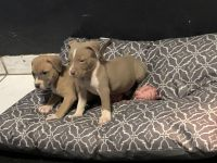 American Bully Puppies for sale in Barstow, CA, USA. price: NA