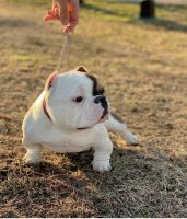 American Bully Puppies for sale in Bossier City, LA, USA. price: NA