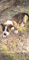 American Bully Puppies for sale in Blanchard, OK, USA. price: NA