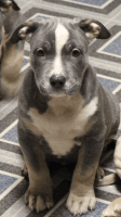 American Bully Puppies for sale in Wilmington, NC, USA. price: NA