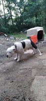 American Bully Puppies for sale in Dalton, GA, USA. price: NA