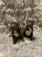 American Bully Puppies for sale in New Philadelphia, OH 44663, USA. price: NA