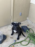 American Bully Puppies for sale in San Diego, CA 92139, USA. price: NA