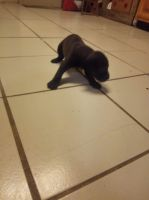 American Bully Puppies for sale in Zanesville, IN 46799, USA. price: NA