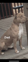 American Bully Puppies for sale in El Dorado, AR 71730, USA. price: NA