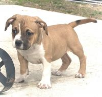 American Bully Puppies for sale in Sicklerville, NJ 08081, USA. price: NA