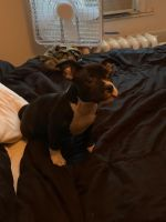 American Bully Puppies for sale in Philadelphia, PA, USA. price: NA