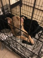 American Bully Puppies for sale in 1990 Lexington Ave, New York, NY 10035, USA. price: NA