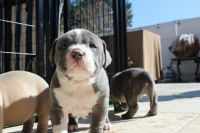 American Bully Puppies for sale in Sylmar, Los Angeles, CA, USA. price: NA