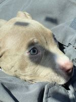 American Bully Puppies for sale in Portsmouth, VA, USA. price: NA