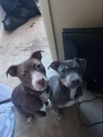American Bully Puppies for sale in Killeen, TX 76543, USA. price: NA