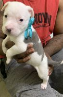 American Bully Puppies for sale in Duncan, OK, USA. price: NA