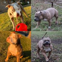 American Bully Puppies for sale in Homer Glen, IL, USA. price: NA