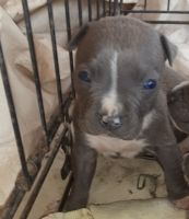 American Bully Puppies for sale in Turlock, CA 95380, USA. price: NA