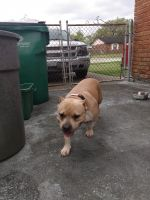 American Bully Puppies for sale in Marrero, LA 70072, USA. price: NA