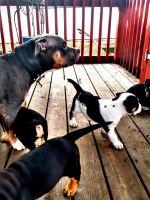 American Bully Puppies for sale in Spokane, WA 99207, USA. price: NA