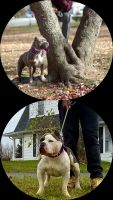 American Bully Puppies for sale in West York, PA 17404, USA. price: NA