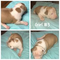 American Bully Puppies for sale in 44990 Nalley Rd, Hollywood, MD 20636, USA. price: NA