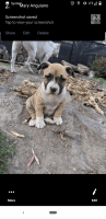 American Bully Puppies for sale in Salem, OR, USA. price: NA
