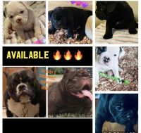 American Bully Puppies for sale in Dayton, OH, USA. price: NA